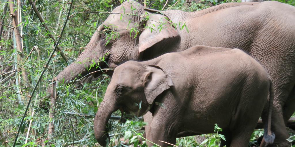 Volunteer with Asian elephants.