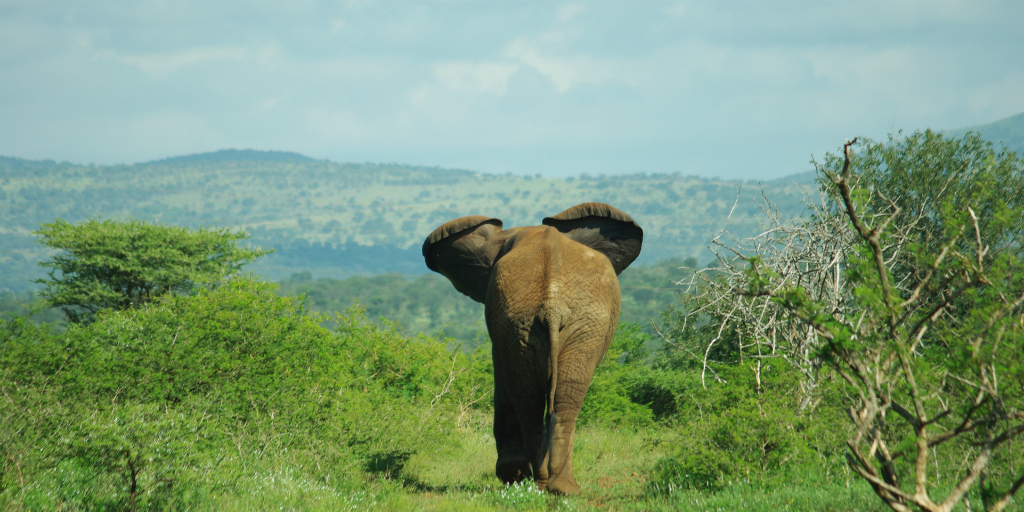 A young elephant walking into the distance in the wild.