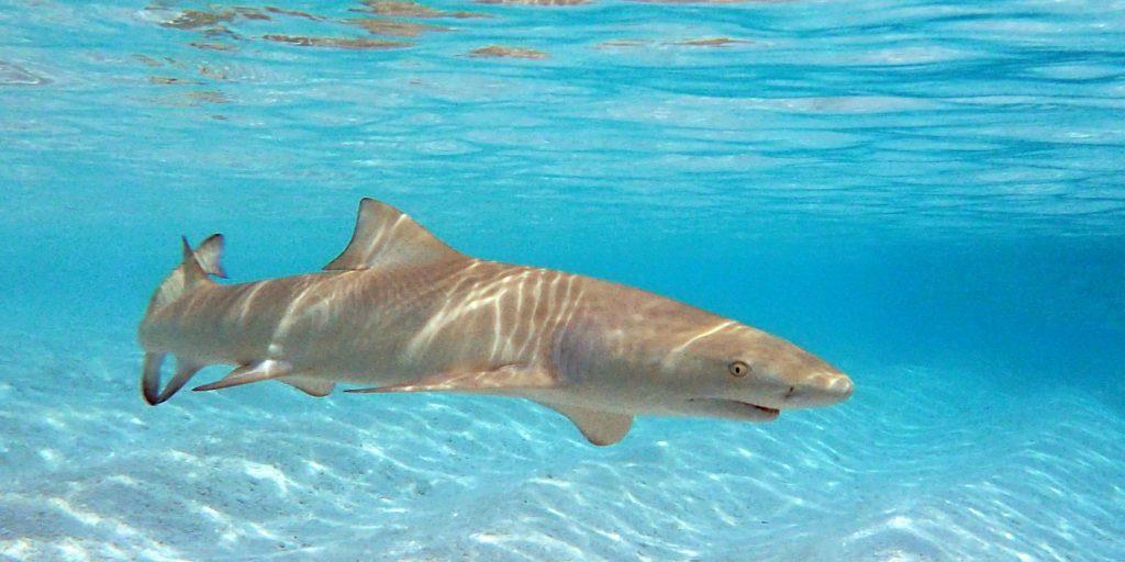 sicklefin lemon shark