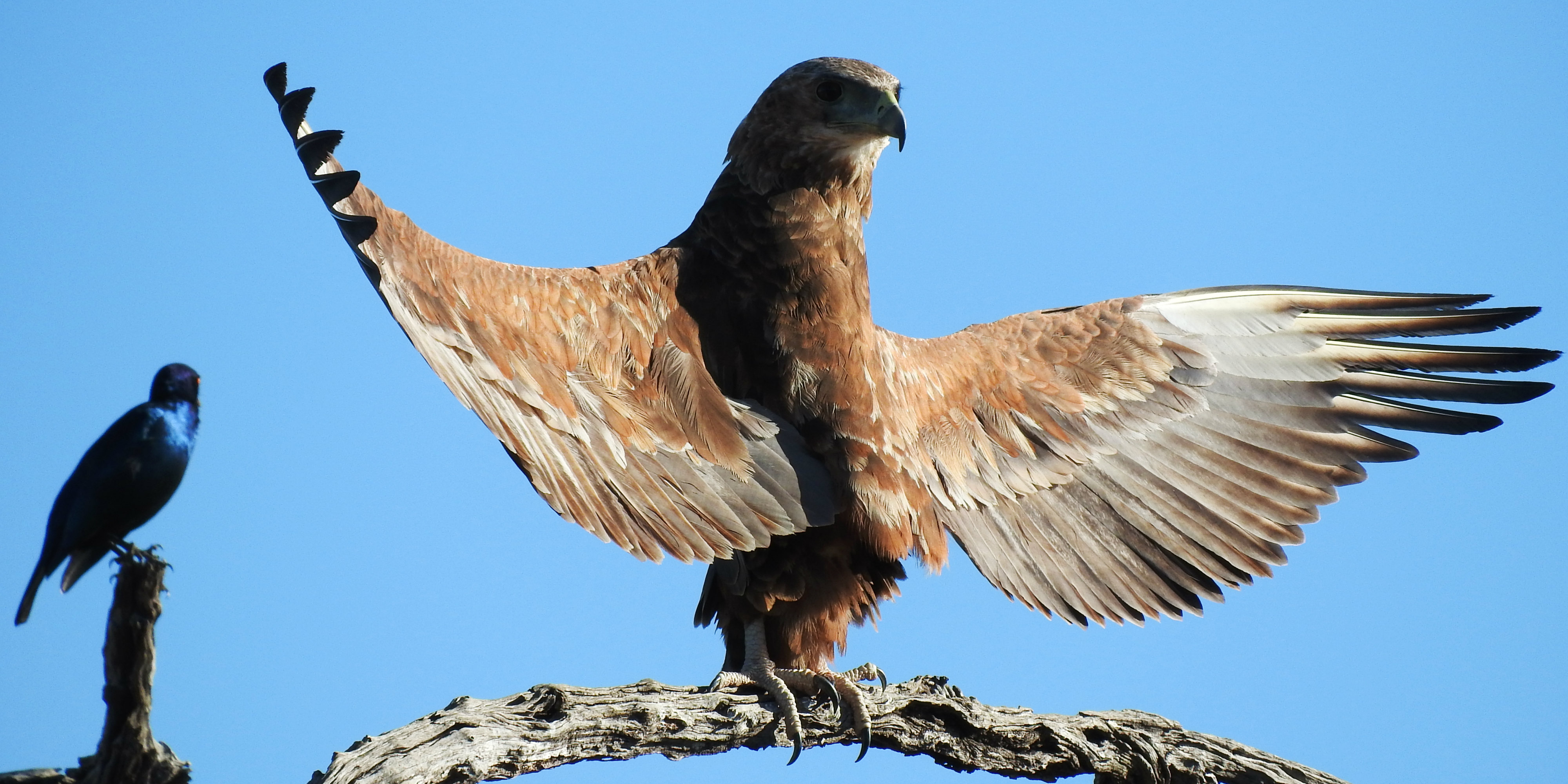 An Africa animal volunteer captures an image of a mighty eagle, as it spreads its wings.