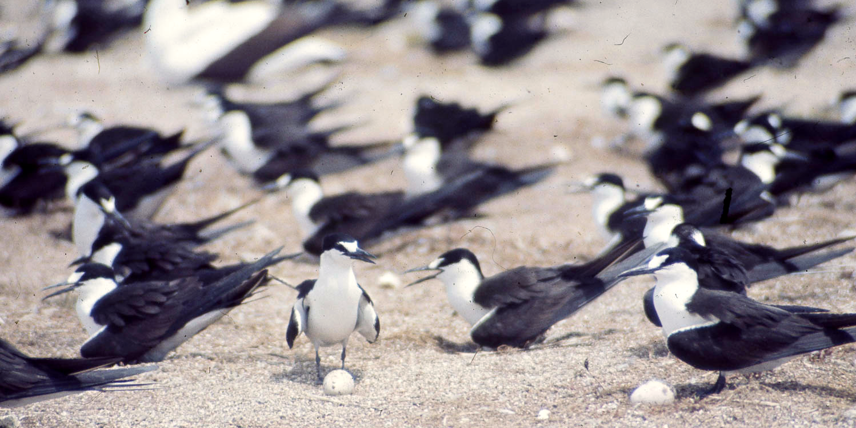 Sooty terns and their eggs on Bird Island, in the Seychelles archipelago.