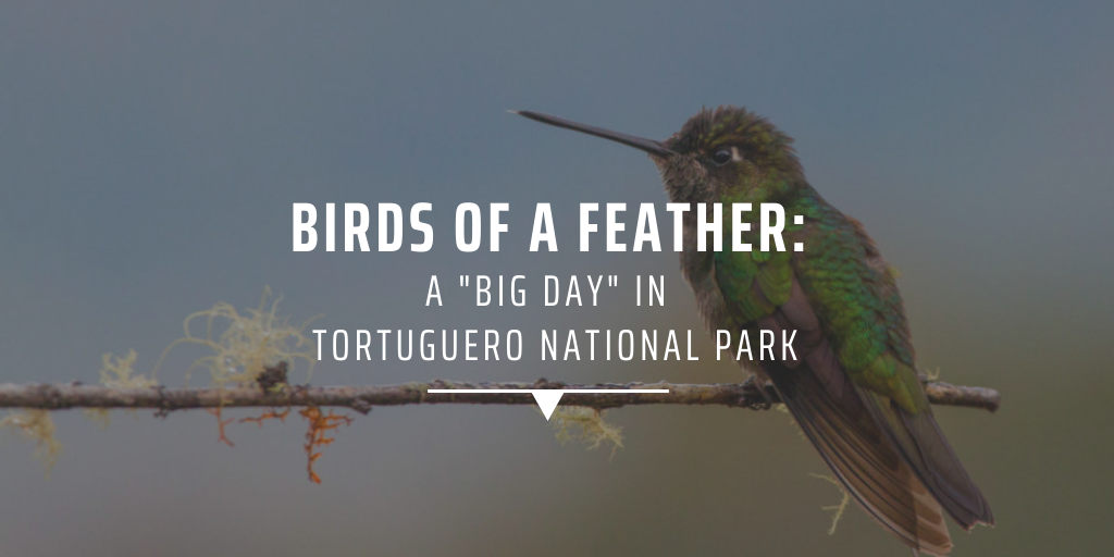"Birds of a feather: a ""big day"" in Tortuguero National Park"