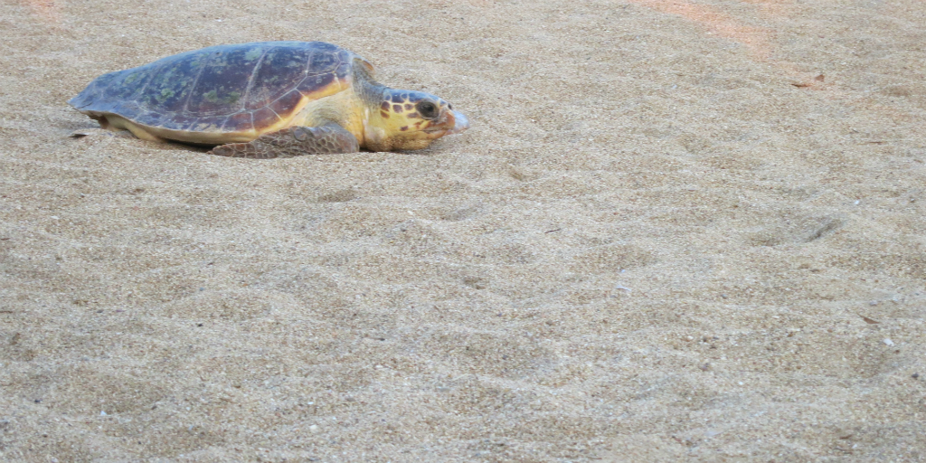 A sea turtle moving along a sandy beach to find a good spot for nesting in Greece.