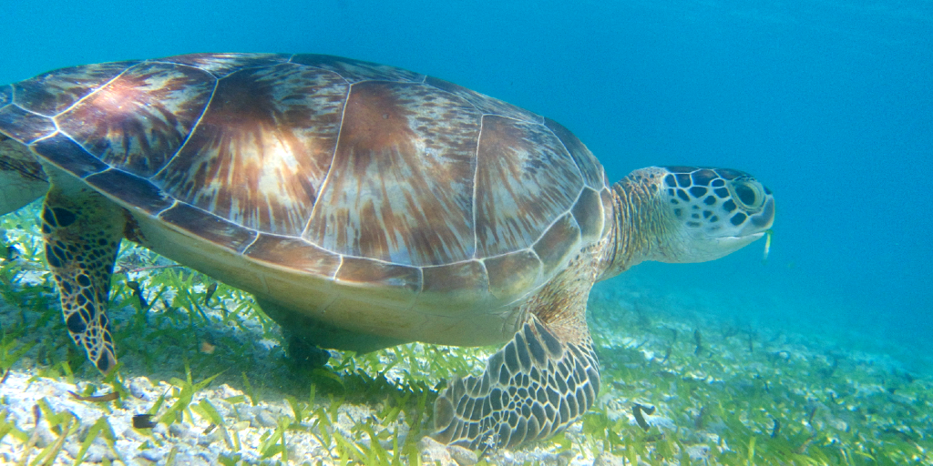A sea turtle swims in the ocean.