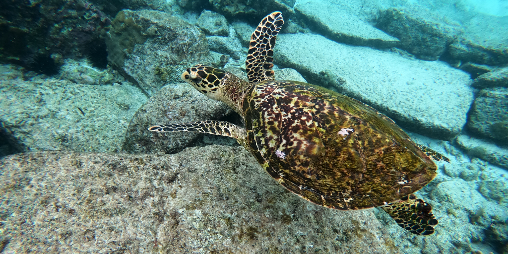 A turtle swims in the ocean.