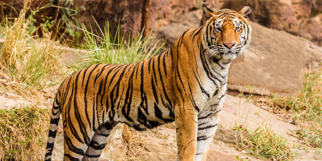 A Bengal tiger.