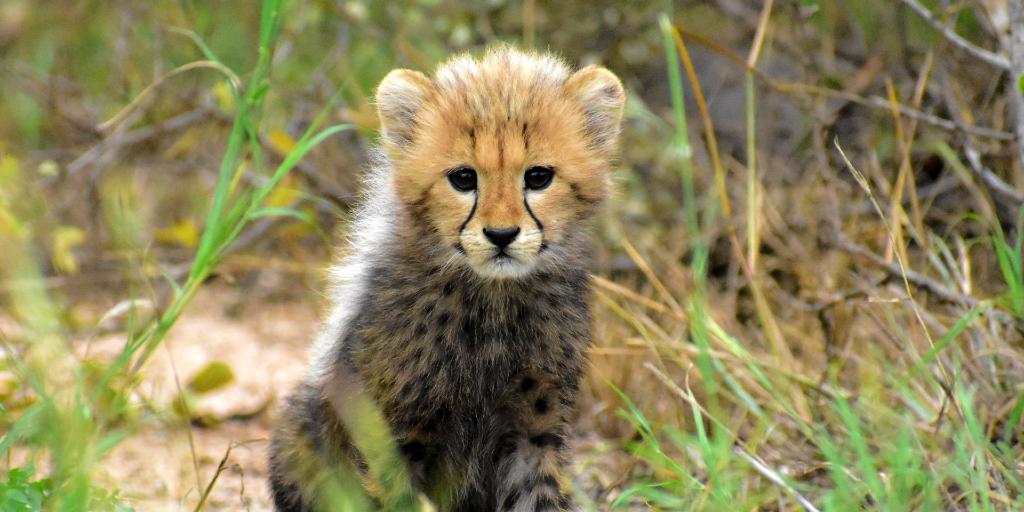 Cheetah cubs have mohawks along their backs.