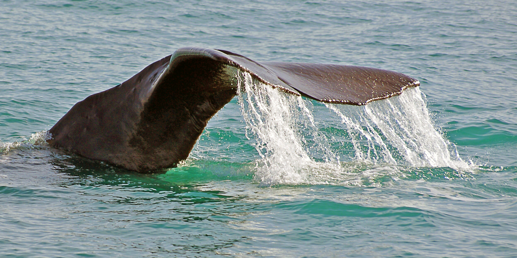The sperm whale has the largest brain.