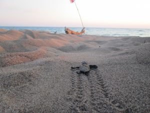 Turtle hatchling making it's way to the ocean