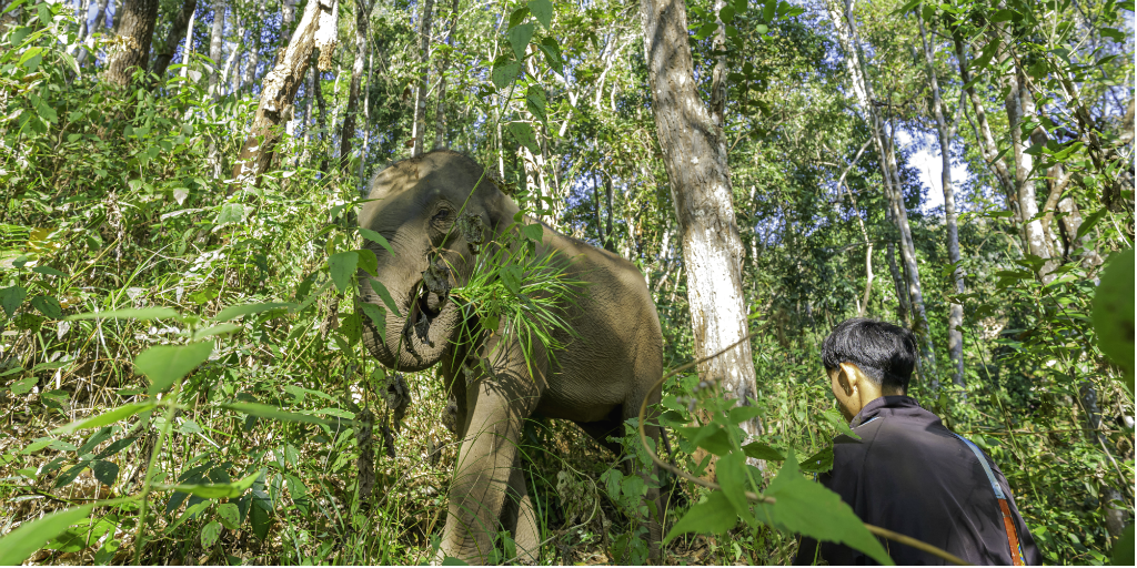 A Chiang Mai mahout walking alongside an elephant.