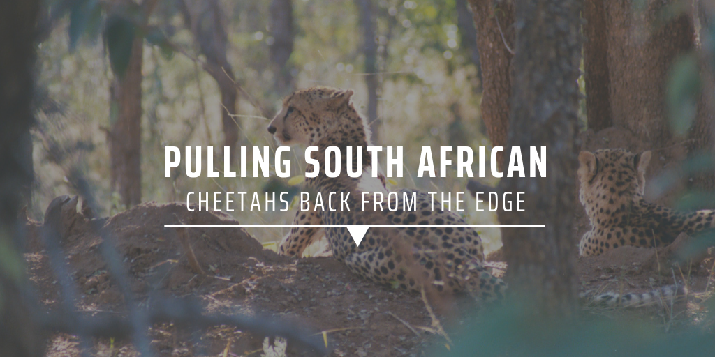 Pulling South African cheetahs back from the edge